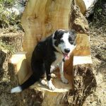 rescue dog Billy the border collie